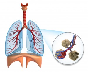 Alveoli, respiratory system, respiratory systems, how does the respiratory system work