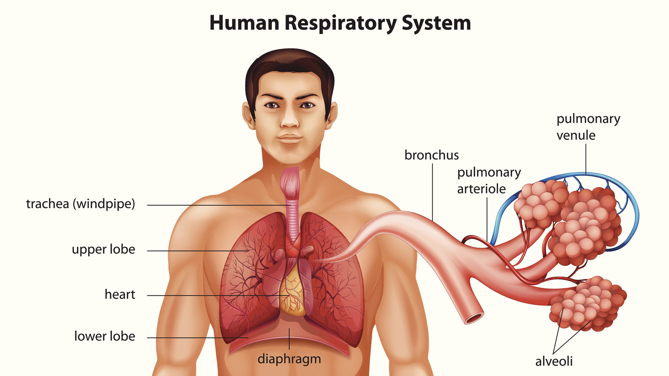 Airway Oxygen, respiratory system, COPD, breathe, air, lungs